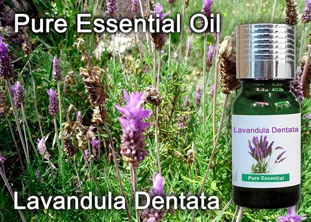 lavandula dentata essential oil