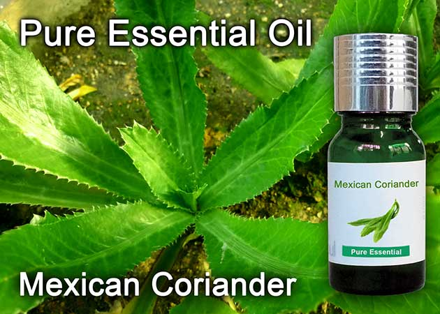 mexican coriander essential oil