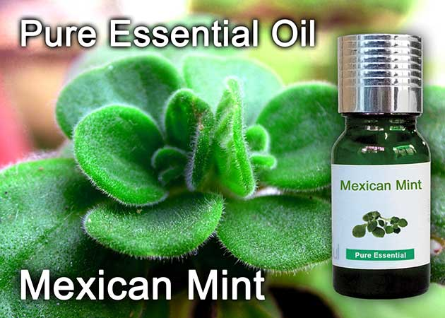 mexican mint essential oil