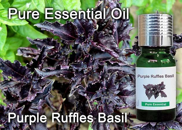 purple ruffles basil essential oil